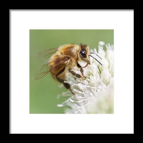 Apidae Framed Print featuring the photograph Honeybee on Rattlesnake Master by Jim Hughes