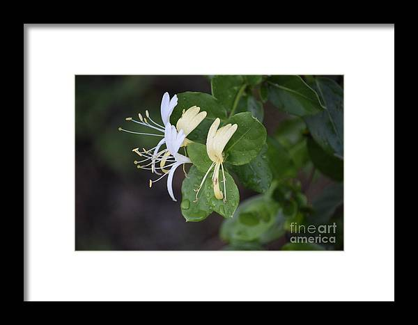 Honeysuckle Framed Print featuring the photograph Honeysuckle by Anita Goel