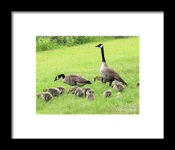Canada Geese Lake Hortonia Vermont Framed Print featuring the photograph Honky Tonk by Karen Velsor