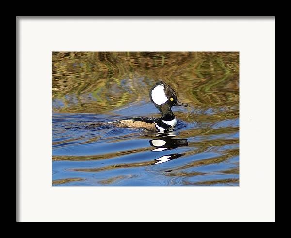 Duck Framed Print featuring the photograph Hooded Mersanger by Debbie May