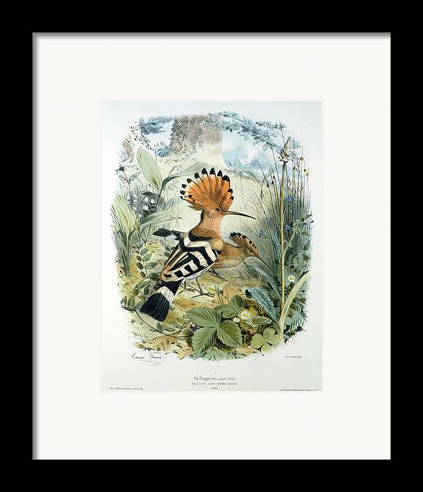 Hoopoe (upupa Epops) (colour Litho) By Edouard Travies (1809-c.1865) Framed Print featuring the painting Hoopoe by Edouard Travies