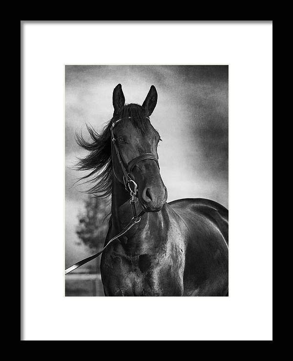 Horse Portrait In Black And White Framed Print by Wolf Shadow ...