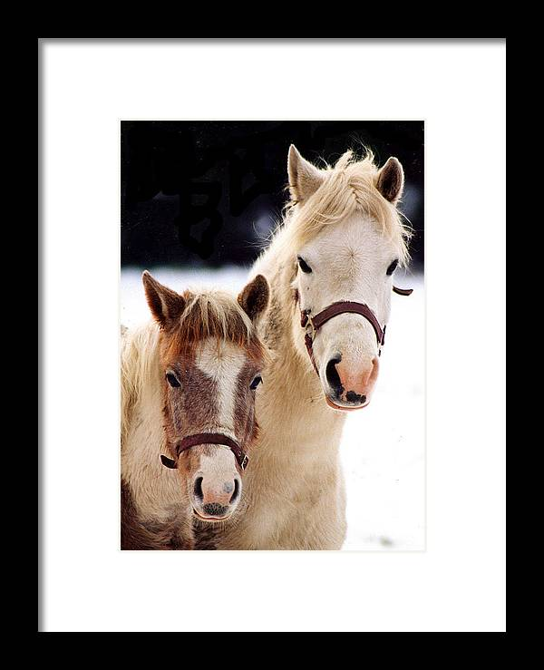 Snow Framed Print featuring the photograph Horses by Stephane Delbecq