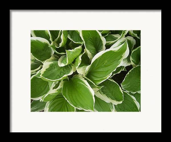 Hostas Foliage Leaves Green White Garden Framed Print featuring the photograph Hostas 1 by Anna Villarreal Garbis