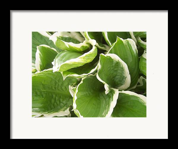 Hostas Leaves Foliage Green White Framed Print featuring the photograph Hostas 2 by Anna Villarreal Garbis