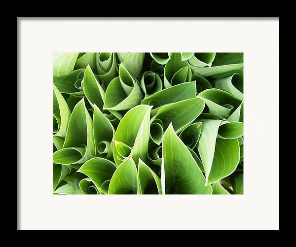 Hostas Green Circles Leaves Garden Framed Print featuring the photograph Hostas 3 by Anna Villarreal Garbis