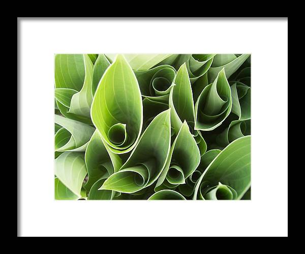 Hostas Green Leaves Circles Garden Plants Framed Print featuring the photograph Hostas 5 by Anna Villarreal Garbis
