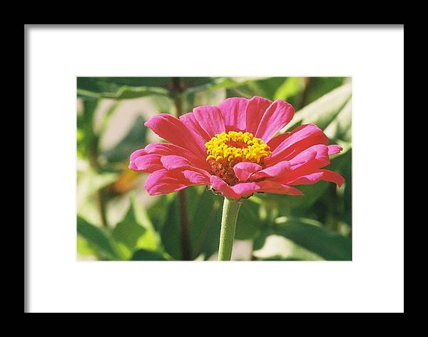 Landscape Framed Print featuring the photograph Hot Pink Flower In Frankemuth Michigan by Cheryl Martin