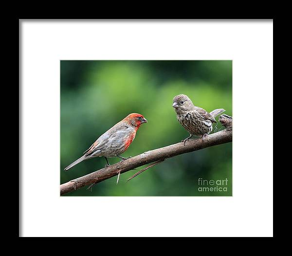 Wildlife Framed Print featuring the photograph House Finch Courtship by Wingsdomain Art and Photography