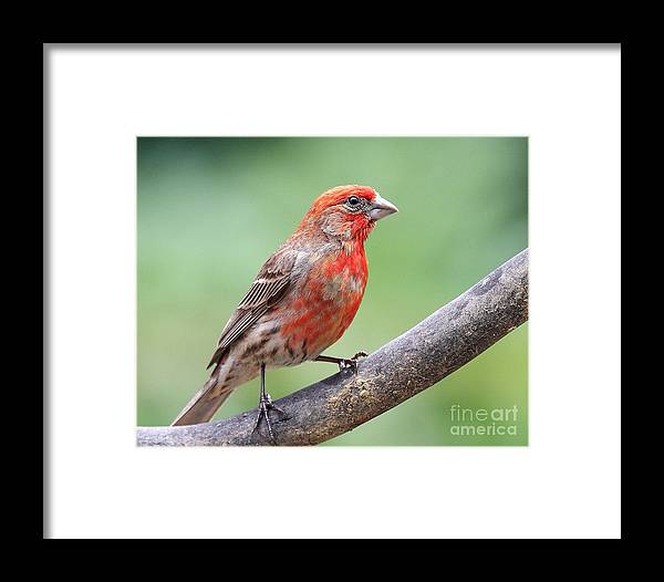 Wildlife Framed Print featuring the photograph House Finch by Wingsdomain Art and Photography