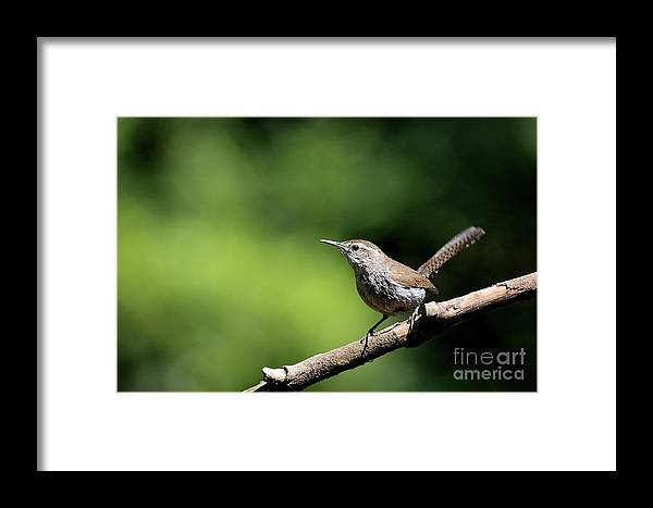 Bird Framed Print featuring the photograph House Wren . 40d8055 by Wingsdomain Art and Photography