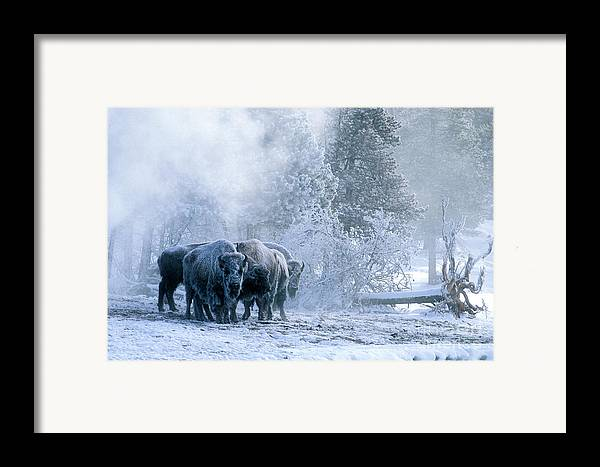 Yellowstone Framed Print featuring the photograph Huddled For Warmth by Sandra Bronstein