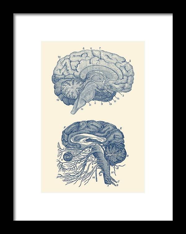Brain Framed Print featuring the drawing Human Brain - Central Nervous System - Vintage Anatomy Print by Vintage Anatomy Prints