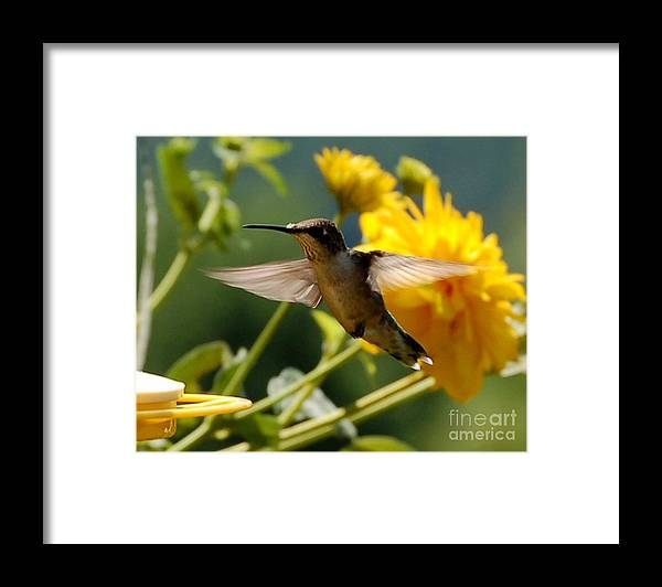 Diane Berry Framed Print featuring the photograph Hummer by Diane E Berry