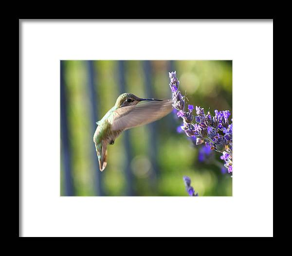 Hummingbird Framed Print featuring the photograph Hummer by Kerry Reed