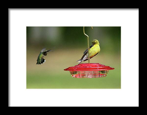 Bird Framed Print featuring the photograph Hummer Vs. Finch 1 by Lou Ford
