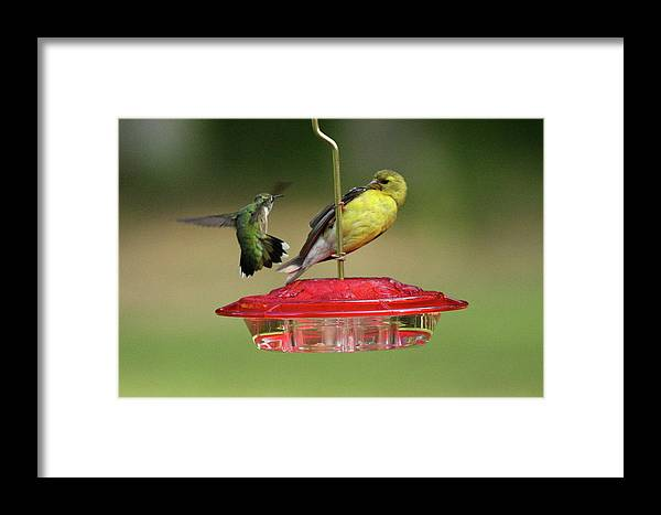 Bird Framed Print featuring the photograph Hummer Vs. Finch 2 by Lou Ford