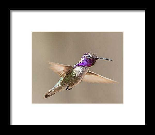 Bird Framed Print featuring the photograph Humming Bird Freeze Frame by Dennis Hofelich