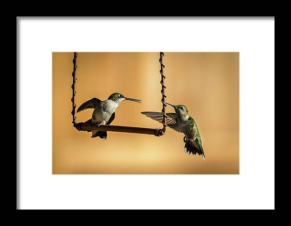 Hummingbird Framed Print featuring the photograph Humming Birds by Allin Sorenson