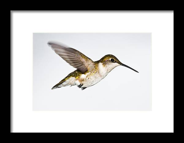 Hummingbirrd Framed Print featuring the photograph Hummingbird 2 by Edward Myers