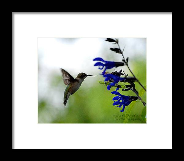 Animal Framed Print featuring the photograph Hummingbird And Blue Flowers by Dave Chafin
