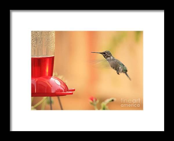 Hummingbird Framed Print featuring the photograph Hummingbird And Feeder by Carol Groenen