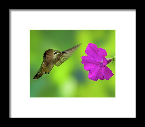 Hummingbird Framed Print featuring the photograph Hummingbird And Flower by Allin Sorenson