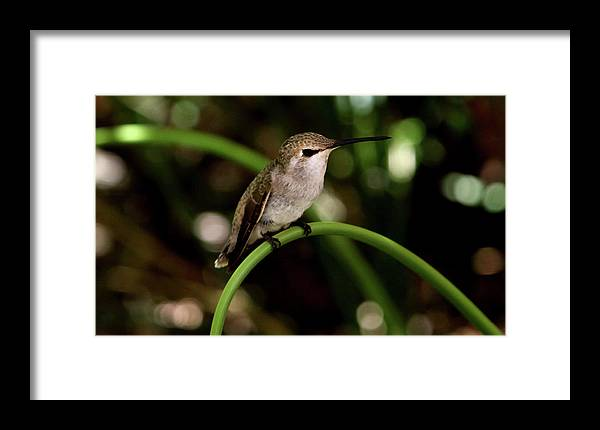 Hummingbird Framed Print featuring the photograph Hummingbird by Heather Strong