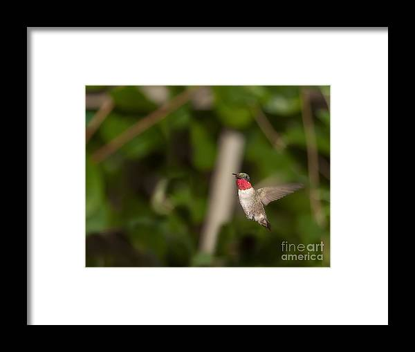 Humming Bird Framed Print featuring the photograph Hummingbird Hovering by Daniel Earnhardt