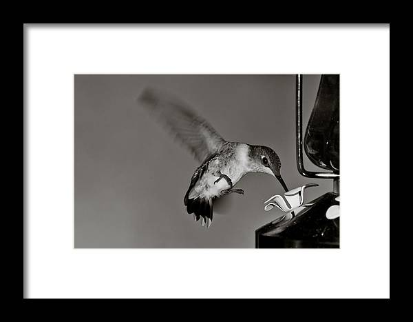 Hummingbirrd Framed Print featuring the photograph Hummingbird In Black And White by Edward Myers