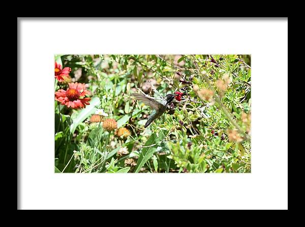 Hummingbird Framed Print featuring the photograph Hummingbird In Flight by Thomas Trompeter