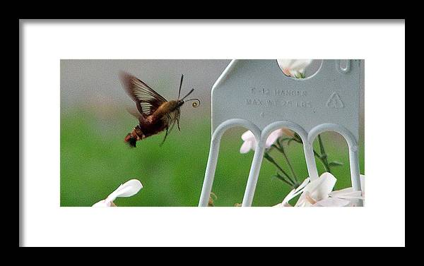 Moth Framed Print featuring the photograph Hummingbird Moth by Don and Sheryl Cooper
