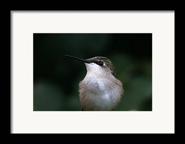 Hummingbird Framed Print featuring the photograph Hummingbird Portrait by Alan Skonieczny