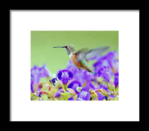 Hummingbird Framed Print featuring the photograph Hummingbird Visiting Violets by Laura Mountainspring