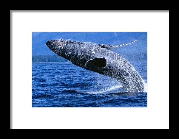 Animal Art Framed Print featuring the photograph Humpback Full Breach by John Hyde - Printscapes