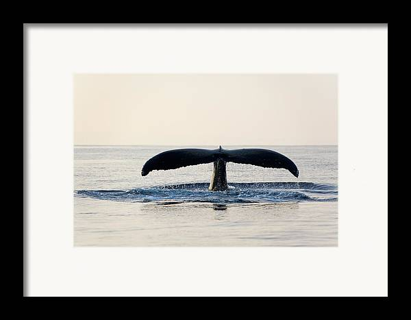 Horizontal Framed Print featuring the photograph Humpback Whale Fluke by M Sweet