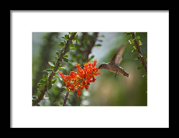 Hummingbird Framed Print featuring the photograph Hums With Its Mouth Full by Richard Henne