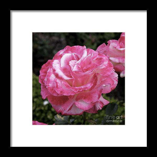 Floral Framed Print featuring the photograph Hurst Castle Rose by Paul Anderson
