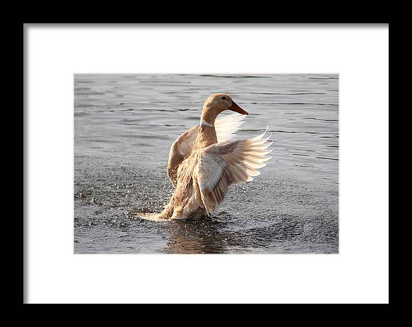 This Is A Photograph Of A Hybrid Female Mallard Duck. It Was Taken At What I Affectionately Call mutant Pond In Wabasha Framed Print featuring the photograph Hybrid Showoff by Jocelyn Lawton