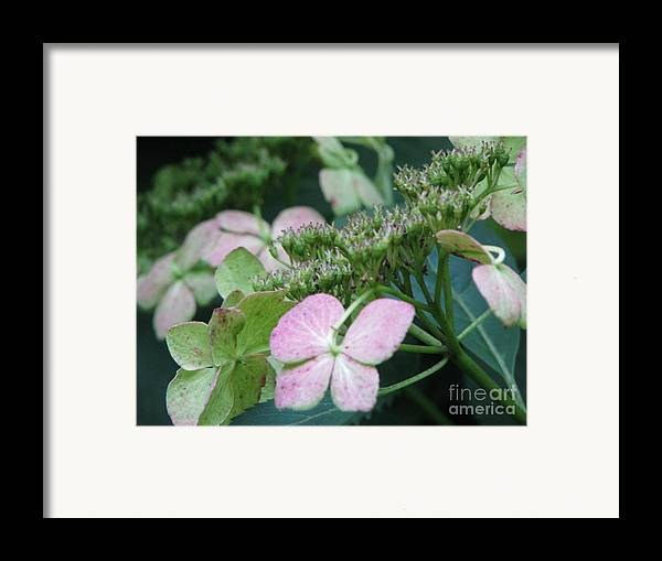 Hydrangea Framed Print featuring the photograph Hydrangea by Amanda Barcon