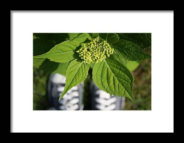 Hydrangea Framed Print featuring the photograph Hydrangea And My Sneakers by Annie Babineau