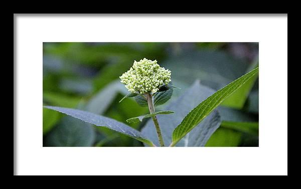 Flower Framed Print featuring the photograph Hydrangea Bud by Jocelyn Lawton
