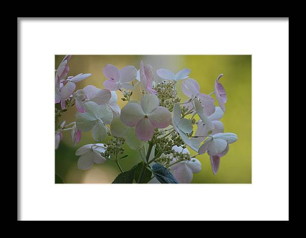 Framed Print featuring the photograph Hydrangea by Martha Boyle