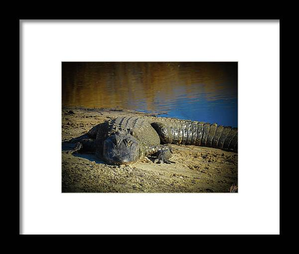 American Alligator Framed Print featuring the photograph I Am Gator, No. 60 by Elie Wolf