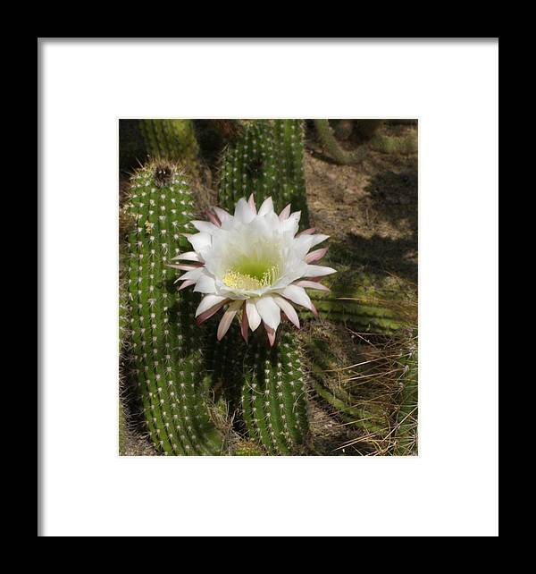 Cactus Framed Print featuring the photograph I Bloom Once A Year by Jeanette Oberholtzer