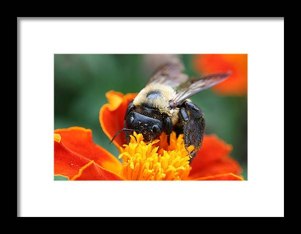 Bug Framed Print featuring the photograph I Like Pollen by Jason Hochman