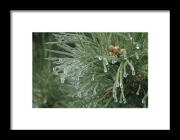 Nature Framed Print featuring the photograph Iced Pine by Kathy Schumann