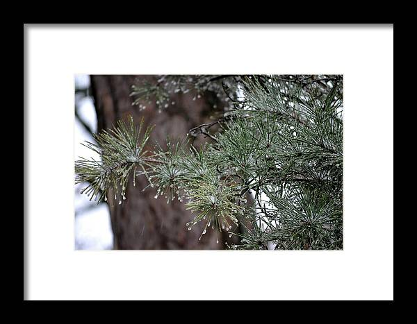 Winter Scene Framed Print featuring the photograph Iced Pine by Tamra Lockard
