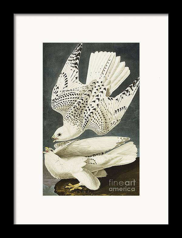 Iceland Or Jer Falcon. Gyrfalcon (falco Rustiocolis) From 'the Birds Of America' (aquatint & Engraving With Hand-colouring) By John James Audubon (1785-1851) Framed Print featuring the drawing Iceland Or Jer Falcon by John James Audubon