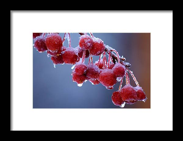 Winter Framed Print featuring the photograph Icy Berries by Lisa Kane
